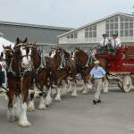 Budweiser Clydesdales Appearance in Park Circle