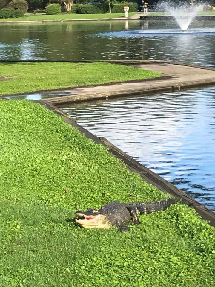 06b - Park Circle Duck - Alligator Murder - July 31 2018 - Chrissy Malizzia